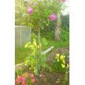 Rose Twistake 1.2m Height - Black